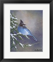 Framed Stellar Jay Waiting for Sunrise
