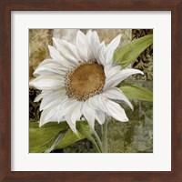 Framed White Sunflower I
