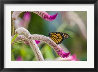 Framed Close-up of Monarch Butterfly Pollinating Flowers, Florida