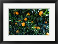 Framed Oranges Growing on a Tree, California