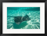 Framed Stingray in the Pacific Ocean, Moorea, Tahiti, French Polynesia
