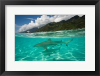 Framed Sharks in the Pacific Ocean, Moorea, Tahiti, French Polynesia