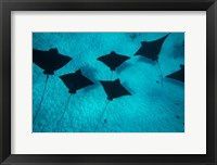 Framed Eagle Rays Swimming in the Pacific Ocean, Tahiti, French Polynesia