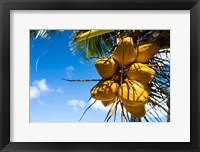 Framed Coconuts Hanging on a Tree, Bora Bora, French Polynesia