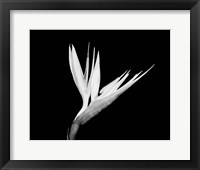 Framed Still-life  of a Bird of Paradise Flower (BW)