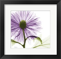 Framed Lavish Purple Chrysanthemum