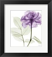 Framed Lavish Purple Rose
