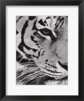 Framed Tiger Purple Eye