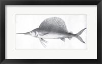 Framed Grey Sword Fish
