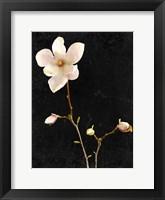 Framed Magnolia on Black 1
