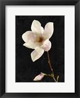 Framed Magnolia on Black 2