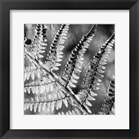 Framed Silver Fern 2
