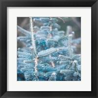 Framed Blue Spruce 1