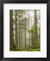 Framed North Coast Redwoods