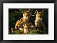 Framed Red Fox Kits