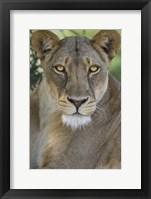 Framed African Lion, Mashatu Reserve, Botswana