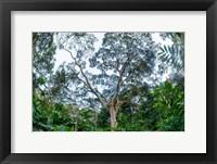Framed Marantaceae Forest Odzala-Kokoua National Park Congo
