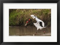 Framed Saddle-Billed Stork, with Fish, Kenya
