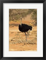 Framed Sossusvlei Male Ostrich, Namib-Naukluft National Park,  Namibia