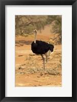 Framed Sossusvlei Male Ostrich, Namib-Naukluft National Park,  Namibia