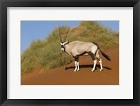 Framed Oryx, Namib-Naukluft National Park, Namibia