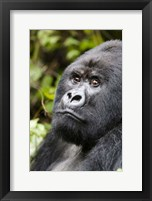 Framed Silverback Mountain Gorilla, Volcanoes National Park, Rwanda
