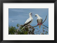 Framed Pair of Red-Footed Boobies, Seychelles