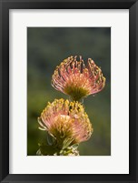 Framed Pincushion Flowers, Cape Town, South Africa