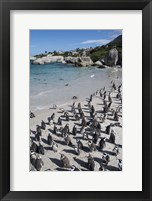 Framed South Africa, Cape Town, Simon's Town, Boulders Beach African Penguin Colony