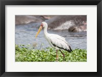 Framed Woolly-Necked Stork