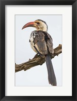 Framed Red-Billed Hornbill, Serengeti National Park, Tanzania