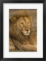 Framed Male African Lion at Ndutu, Serengeti National Park, Tanzania