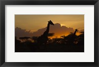 Framed Masai Giraffes at Sunset at Ndutu, Serengeti National Park, Tanzania