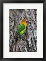 Framed Fischer's Lovebird in Serengeti National Park, Tanzania