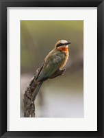 Framed White-Fronted Bee-Eater, Serengeti National Park, Tanzania