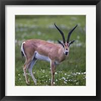 Framed Grant's Gazelle, Serengeti National Park, Tanzania