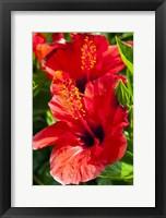 Framed Hibiscus, Tunisia