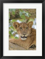 Framed Uganda, Ishasha, Queen Elizabeth National Park Lioness in tTree