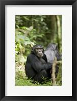 Framed Uganda, Kibale National Park, Young Male Chimpanzee