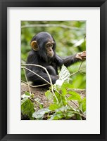 Framed Uganda, Kibale National Park, Infant Chimpanzee