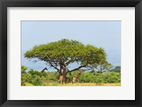 Framed Giraffes Under an Acacia Tree on the Savanna, Uganda