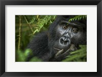 Framed Mountain Gorilla, Bwindi Impenetrable Forest, Uganda