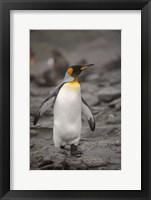 Framed Antarctica, King Penguin