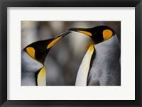 Framed Antarctica, South Georgia, King Penguin Pair