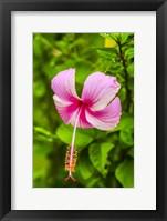 Framed Ranthambore, Rajasthan, India, Hibiscus Flower