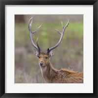 Framed Southern Wwamp Deer at Kanha Tiger reserve, India