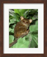 Framed Close-up of Tarsier on Limb, Bali, Indonesia
