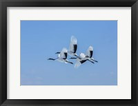 Framed Japanese Cranes Flying