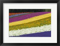 Framed Colorful Flowers in a Lavender farm, Furano, Japan