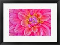 Framed Cerise-Pink Dahlia Flower